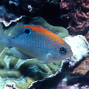 Dusky Damselfish, juveniles, inhabit shallow surgy reef and areas of rocky rubble in Tropical West Atlantic; picture taken Roatan, Honduras.