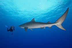 large tiger shark, Galeocerdo cuvier, and woman scuba diver with underwater video housing, Little Bahama Bank, Grand Bahama, Bahamas, Caribbean Sea, Atlantic Ocean, Model Released - MR-000053