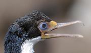 Portrait of an Imperial Shag (Phalacrocorax atriceps) known locally as black shag or blue eyed cormorant. Saunders Island, Falkland Islands. 15Feb16