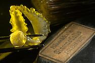 AUT, Österreich: Abgebrochenes Glasstück gehalten von Pinzette, alte Beschriftung eines Blaschka-Modelles, Pinsel im Hintergrund, dieses Glasmodell stammt aus dem Werk der naturwissenschaftlichen Glaskünstler Leopold Blaschka (1822-1895) und Sohn Rudolf Blaschka (1857-1939). Zwischen 1863 und 1890 entstanden in der Dresdner Werkstatt Tausende Glasmodelle wirbelloser Meerestiere, die ihren Weg in Museen und Universitäten der ganzen Welt fanden. Diese Nachbildungen verblüffen bis heute, denn sie sind morphologisch fehlerfrei und halten naturwissenschaftlichen Betrachtungen bis ins Detail stand - die perfekte Verschmelzung von Kunst und Naturwissenschaft. Die Blaschkas hatten keine Lehrlinge und es gibt keine weiteren Nachfahren. Vater und Sohn haben das Geheimnis ihrer einzigartigen Technik mit ins Grab genommen, Blaschka-Sammlung, Institut für Zoologie, Universität Wien | AUT, Austria: Broken off piece of glass held of tweezers, old label of a Blaschka model, brush in the background, this glass model originated from the work of the scientific glass artists Leopold Blaschka (1822-1895) and his son Rudolf Blaschka (1857-1939). Between 1863 and 1890 thousands of glass models of invertebrates sea animals developed in the workshop in Dresden, which found their way in museums and universities of the whole world. These reproductions amaze until today, because they are morphologically exact and withstand scientific examinations in detail - the perfect fusion of art and natural science. The Blaschkas didn?t have apprentices and it gives no further descendants. Father and son took the secret of their inimitable technology also in the grave, Blaschka-Collection, Institute of Zoology, University Vienna |