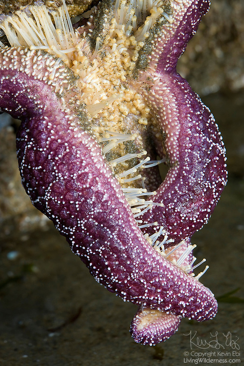 A purple ochre sea star (Pisaster ochraceus) wraps itself around and feasts on a mussel on the beach near Bandon, Oregon. Some sea stars, also known as starfish, force their stomachs into the shells of clams and mussels. That allows them to eat prey that's larger than what they can fit in their mouths.