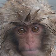 Snow Monkey, baby in the hot pool of Jigokudani Monkey Park, Japan