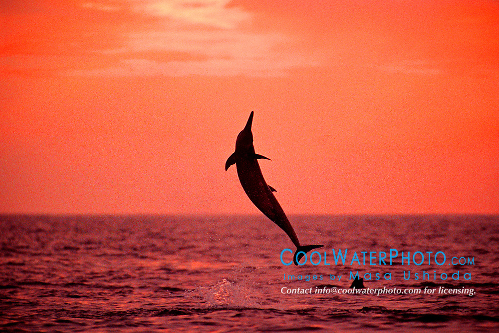Long-snouted Spinner Dolphin, leaping at sunset, Stenella longirostris, off Kona Coast, Big Island, Hawaii, Pacific Ocean