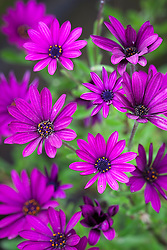 Osteospermum 'Tresco Purple' syn. O. 'Nairobi Purple'
