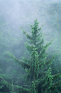 Spruce tree in fog in forest near Trinidad, Humboldt County, California
