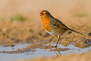 European Robin (Erithacus rubecula) near water, negev desert, israel. Photographed in January
