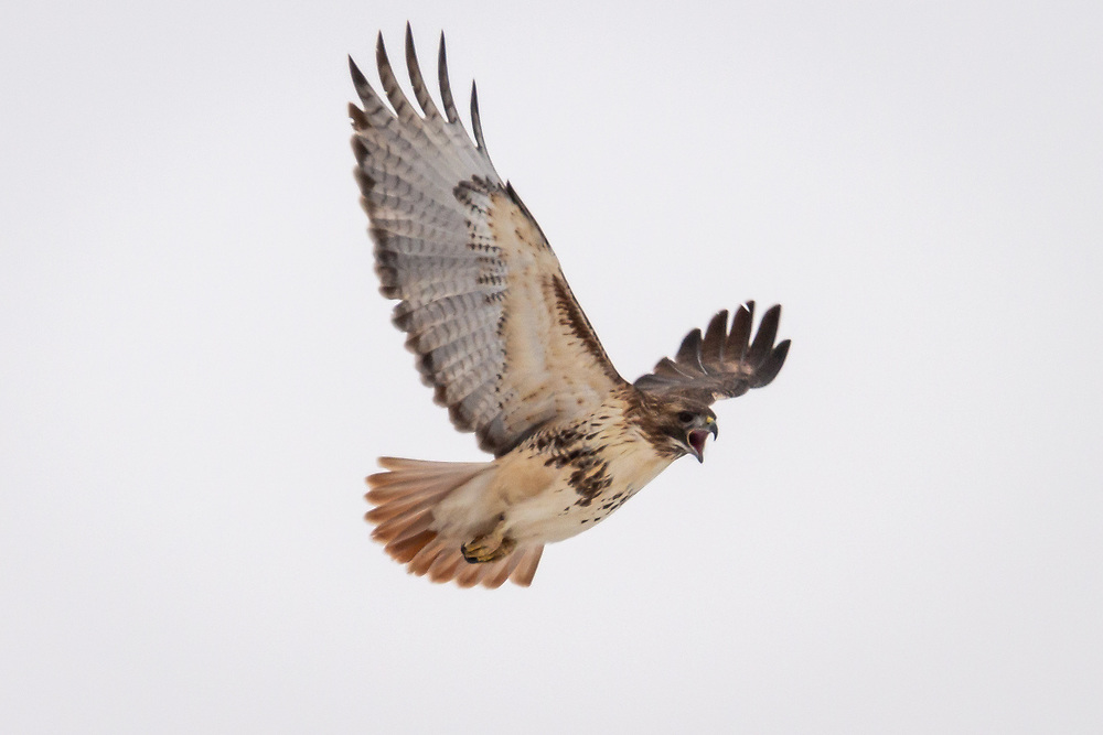 Red-tailed hawk soars over Wisconsin rustic road, Lalor Road, Fitchburg, Dane County, Wisconsin, Sunday, January 3, 2021.