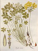 Bermuda buttercup (Oxalis pes-caprae syn Oxalis cernua). Illustration from 'Oxalis Monographia iconibus illustrata' by Nikolaus Joseph Jacquin (1797-1798). published 1794
