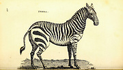 Zebra from General zoology, or, Systematic natural history Vol II Part 2 Mammalia, by Shaw, George, 1751-1813; Stephens, James Francis, 1792-1853; Heath, Charles, 1785-1848, engraver; Griffith, Mrs., engraver; Chappelow. Copperplate Printed in London in 1801 by G. Kearsley