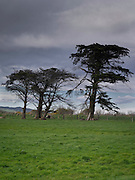 Dark, eery trees on an overcast afternoon; near Clutha, New Zealand; spring; September, 2012