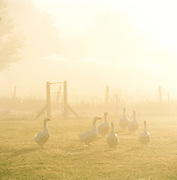 Geese on a farm in Binz, on the island of Rugen, northern Germany