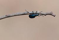 25.04.2013 Biebrzanski Park Narodowy N/z owad Oleica fioletowa (Meloe violaceus) fot Michal Kosc / AGENCJA WSCHOD