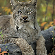 Canada Lynx, (Lynx canadensis) Montana. Portrait of adult. Fall. Captive Animal.