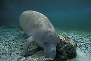 Florida manatee, Trichechus manatus latirostris, rubs its head against a rock - a possible scent-marking behavior, Three Sisters Spring, Crystal River, Florida, USA, North America