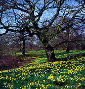 Wild daffodils growing in spring woodland, Butley, Suffolk, England