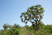 Doum Palm tree in Omo Valley in Mursi country, Ethiopia, Africa