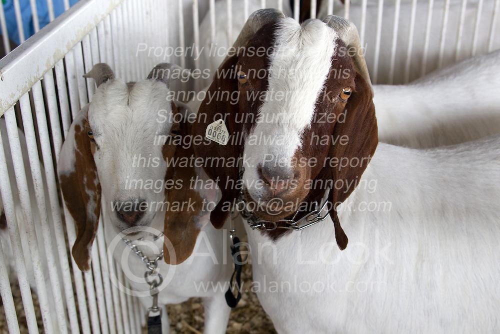 01 August 2014:   McLean County Fair. goats.