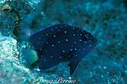 juvenile yellowtail damselfish or jewelfish, <br /> Microspathodon chrysurus,<br /> Key Largo, Florida, ( Atlantic )
