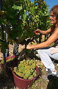 Harvest workers picking grapes, chenin blanc. Chateau de Passavant, Anjou, Loire, France