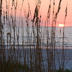 Sea oats, Uniola paniculata, at sunset on North Beach at Fort De Soto Park in Pinellas County, Florida.