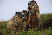 Alpine Marmots (Marmota marmota) feeding on remainings left by tourists. Hohe Tauern National Park, Carinthia, Austria