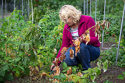 Removing diseased stems from raspberries that are suffering from raspberry cane stem rot.