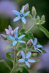 Tweedia coerulea syn. Oxypetalum caeruleum - Blue Milkweed