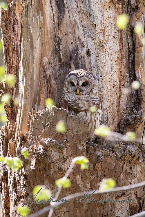 A Barred Owl peers out from its nest in a broken tree.