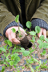 Potting on Crambe cordifolia root cuttings. Pushing plugs out of modular seed tray