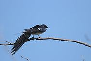 This barn swallow is stretching out its wing while perched on a tree branch.