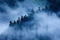 Russia, Caucasus. Teberdinsky biosphere reserve. Fog drifting over a forest of fir tree - Nordmann Fir (Abies nordmanniana). Near Dombay.