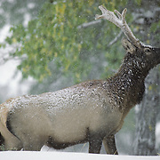 Elk (Cervus canadensis) young bull in velvet browsing on aspen leaves during first winter's snowstorm in Wyoming.