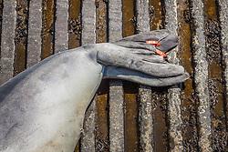 Hawaiian monk seal, Monachus schauinslandi, hind flippers with tags, young male, critically endangered species, Honokohau Harbor, Kona Coast, Big Island, Hawaii, USA, Pacific Ocean