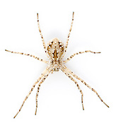 Philodromus fallax - Female. A remarkable running crab spider that is adaped perfectly to life on mobile sand on dunes. It is almost invisible on bare sand in habitat.