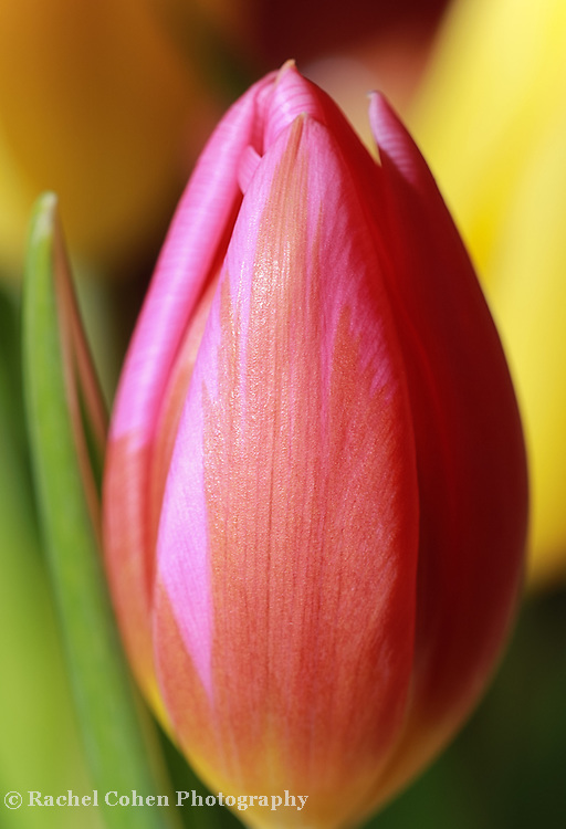 """""""Other Side of Sunshine""""<br /> <br /> Gorgeous sunlight on a single colorful tulip!"""