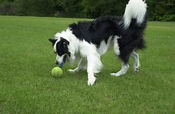 Eddie Sander with his Dogs Jackson and Inka<br /><br />18 June 2004<br /><br />Copyright Paul David Drabble<br /> [#Beginning of Shooting Data Section]<br />Nikon D1 <br /> Focal Length: 35mm<br /> Optimize Image: <br /> Color Mode: <br /> Noise Reduction: <br /> 2004/06/18 09:57:31.5<br /> Exposure Mode: Manual<br /> White Balance: Auto<br /> Tone Comp: Normal<br /> JPEG (8-bit) Fine<br /> Metering Mode: Center-Weighted<br /> AF Mode: AF-C<br /> Hue Adjustment: <br /> Image Size:  2000 x 1312<br /> 1/400 sec - F/4<br /> Flash Sync Mode: Not Attached<br /> Saturation: <br /> Color<br /> Exposure Comp.: 0 EV<br /> Sharpening: Normal<br /> Lens: 17-35mm F/2.8-4<br /> Sensitivity: ISO 200<br /> Image Comment: <br /> [#End of Shooting Data Section]