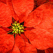 Close up of the front of a poinsettia flower with texture.