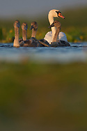 Mute Swan, Cygnus mutus, adult female with mid-sized chicks, Nemunas Delta Nature Reserve, Lithuania, Europe