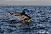 long-beaked common dolphin, Delphinus capensis (formerly lumped with common dolphin, Delphinus delphis ) porpoising out of water, off San Diego, California, U.S.A. ( eastern Pacific Ocean ) #2 in sequence of 2