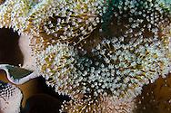 Leather Coral, Sarcophyton trocheliophorum, Bali Indonesia