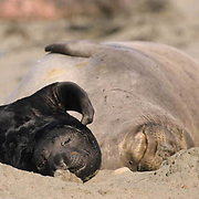 Northern Elephant Seal, (Mirounga angustirostris) Mother and pup on beach. Pup scratching. California