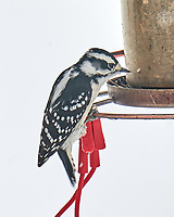 Downy Woodpecker (Dryobates pubescens). Image taken with a Leica SL2 camera and 90-280 mm lens.
