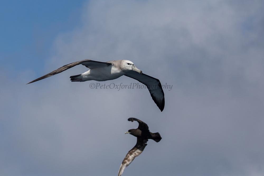 Shy Albatross (Thalassarche cauta)<br /> South of South Africa<br /> Western Cape<br /> South Africa<br /> 60 miles south of Gansbaai