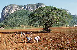 Agricultural workers planting and watering tobacco seedlings on farm at Vinales; Cuba,