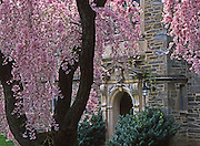 Weeping Higan Cherry, prunus subhirtella 'pendula' Bryn Mawr College Arboretum, Philadelphia gardens and arboretums, Bryn Mawr, Montgomery Co., PA