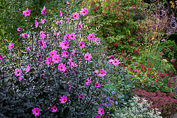 Dahlia 'Magenta Star' with euonymus in the background