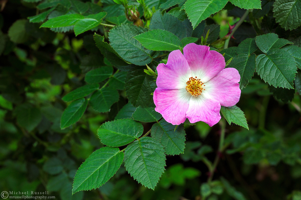 A Eglantine Rose (Rosa rubiginosa) flowering in a backyard Rose garden