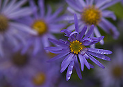 Water droplets shimmer on a flower at Kubota Garden in Seattle on a rainy day. (Ellen M. Banner / The Seattle Times)