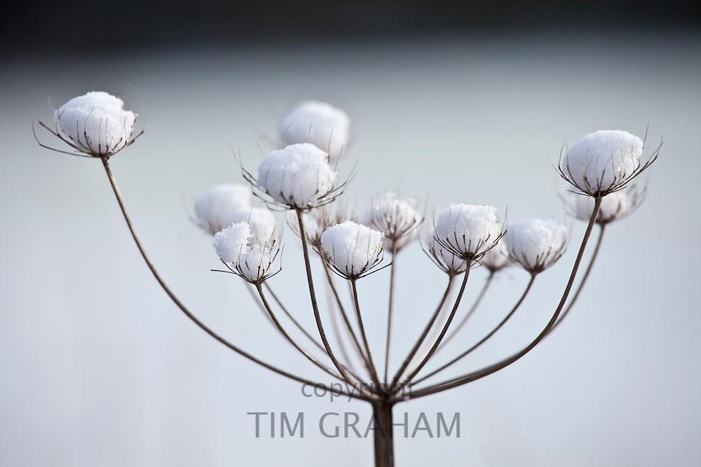 Winter scene hoar frost on giant hogweed, The Cotswolds, UK
