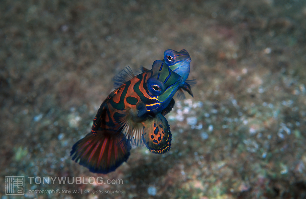 Mating mandarinfish, just under the jetty of Tufi Dive Resort. This photograph is a film scan.
